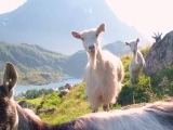 14/08/2012 // We visited our first farm: Lofoten Gårdsysteri in Norway!
